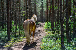Horse in forest. Brown horse walks alone in forest path Stock Photos