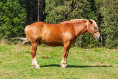 Horse in a Forest Glade. Extreme closeup Stock Image