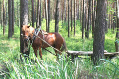 The horse in the forest. Horse harnessed in a cart in a pine forest Stock Image