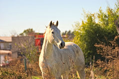 Horse free on a field in Argentina. In wintertime Royalty Free Stock Photo