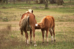 Horse free on a field in Argentina. In wintertime Stock Photography