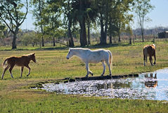 Horse free on a field in Argentina. In wintertime Stock Photos