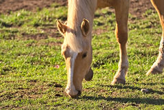 Horse free on a field in Argentina. In wintertime Royalty Free Stock Images