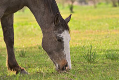 Horse free on a field in Argentina. In wintertime Stock Images
