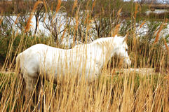 Horse in freedom - Camargue - France stock photo