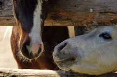 Farm. Horse friends. Friendship can not be separated by a fence royalty free stock photography