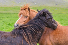 Horse friendship. Icelandic horse friendship in nature Royalty Free Stock Photos