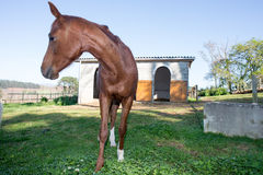 Horse in front of stables Stock Images