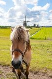 Horse in front of three windmills at leidschendam, Netherlands stock images
