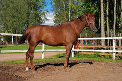 Horse. In full growth. A  in the paddock Royalty Free Stock Image
