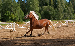 Horse. In full growth.  during the run Stock Image