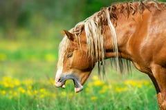 Horse fun yawning. Red draft horse portrait yawning royalty free stock photography