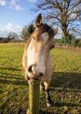 Horse Funny Stock Photos