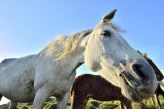 Horse funny portrait Royalty Free Stock Image