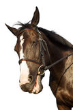 Horse funny smiling over white background Royalty Free Stock Photography