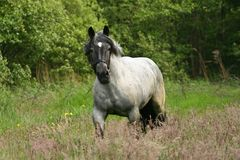 Horse in gallop Royalty Free Stock Photography