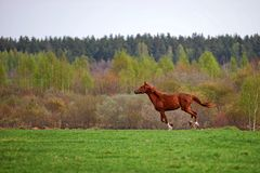 Horse gallop. Across the field in Russia Royalty Free Stock Photography