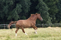 Horse gallop beautiful free on paddock Stock Images