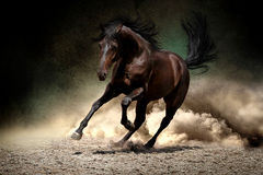 Horse gallop in desert. Black horse run gallop in dust desert Royalty Free Stock Image