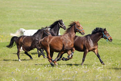 Horse gallop free outside on meadow Stock Image