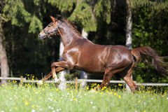 Horse gallop free outside on meadow Royalty Free Stock Photos