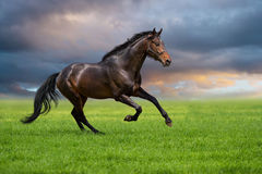Horse gallop on a green grass stock image