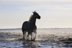 Horse, Gallop, Horses, Standard Royalty Free Stock Images