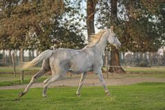 Horse gallop Royalty Free Stock Image