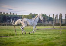 Horse gallop Stock Image