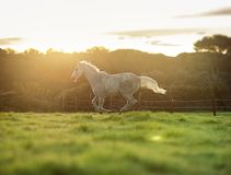 Horse gallop Royalty Free Stock Photo
