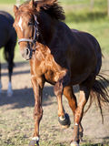 Horse gallop powerful free in paddock frontal Royalty Free Stock Photos