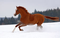 Horse gallop on snow. Chestnut horse galloping on snow stock photos