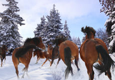Horse gallop in winter Royalty Free Stock Photo