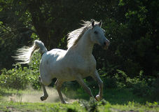 Horse galloping. Active white wild Arabian horse galloping wild with beautiful expression in the fields showing all the action and motion Stock Photo