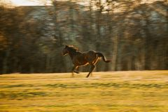 Horse Galloping Stock Photography