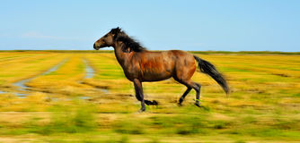 Horse galloping. A horse galloping free on a meadow in autumn stock photos