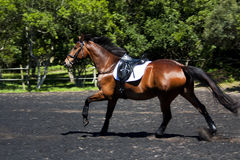 Horse Galloping Royalty Free Stock Photography