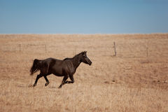 Horse galloping. In a field in Kansas Royalty Free Stock Image