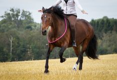 Horse and rider in field. Horse galloping in country field with rider on sunny day Stock Photos