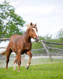 Horse galloping Royalty Free Stock Photo