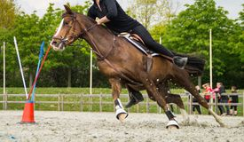 Horse galloping with rider on course. Brown horse with rider galloping around obstacles inside paddock during training or competition royalty free stock image