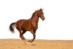 Horse galloping on sand on a white background royalty free stock photography