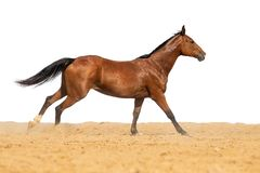 Horse galloping on sand on a white background. Brown and black horse galloping on sand on a white background, without people stock photo