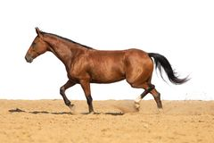 Horse galloping on sand on a white background stock photo