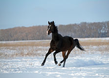 A  horse galloping on snow field Stock Images