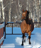 Horse galloping in winter. Close up of yearling horse galloping through winter snow Royalty Free Stock Image