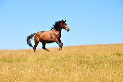 Horse gallops 2 Royalty Free Stock Images