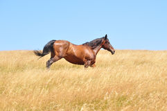 Horse gallops. Beautiful horse gallops on a field, in a summer day stock images