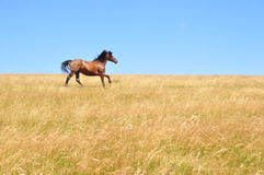 Horse gallops. Beautiful horse gallops on a field, in a summer day stock image