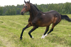 Horse gallops Stock Photography